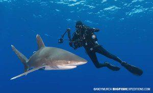 Photographing oceanic whitetip sharks
