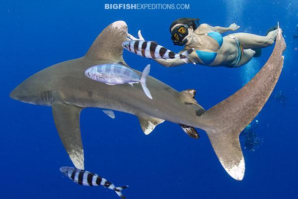 Oceanic whitetip shark diving on Cat Island, Bahamas