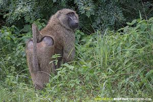 Olive baboon at Murchison Falls National Park
