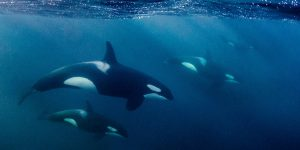 Orcas Snorkeling
