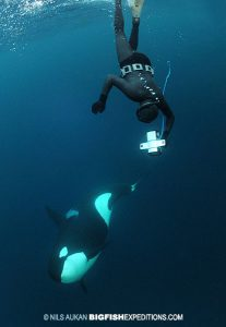 dive with a killer whale