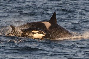Orca mother and calf in Norway