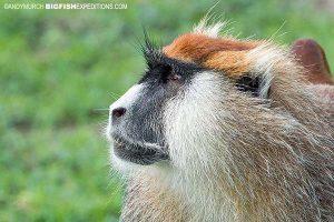 Patas Monkey in Murchison Falls National Park. Uganda Safari