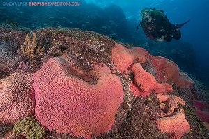 diving with giant pink sponges in the sea of cortez