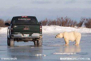 Polar bear and Truck on the tundra trip