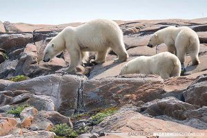 Polar Bear watching in Churchill. Canada.