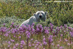 Polar Bear in Fire Weed, Churchill Manitoba.
