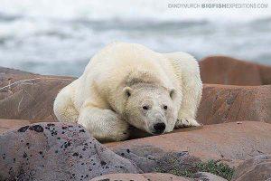 Polar Bear trip in Churchill