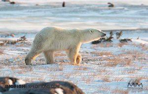 Polar Bear photography in Churchill, Canada.