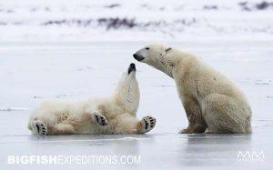 Polar Bears on ice in the tundra