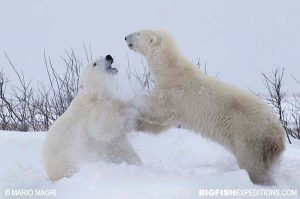 Walking with polar bears in Canada