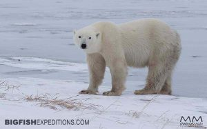 Polar Bear Photography Trip