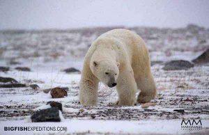 Polar Bear Tundra Trip