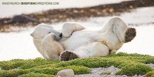 A polar bear relaxing on the tundra