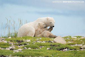 Polar bear mother and cub in Churchill, Canada