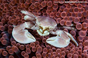 spotted porcelain crab in anemone in the philippines