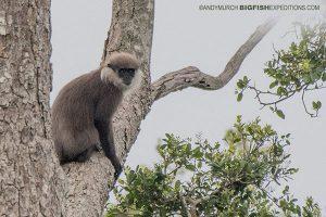 Leaf Eater Monkey Sri Lanka Safari