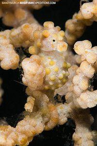 pygmy seahorse bargabanti Malapascua Philippines