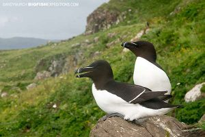 Razorbills on the Isle of Lunga