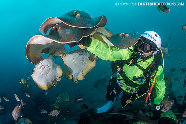 A diver with lots of red stingrays