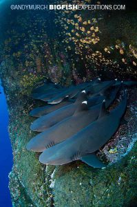 Whitetip reef sharks on a ledge