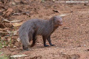 Ruddy Mongoose Sri Lanka Safari