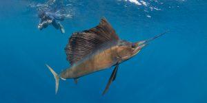 Sailfish Shorkeling