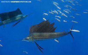 Dive with sailfish
