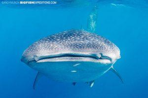 A whale shark on our sailfish diving trip