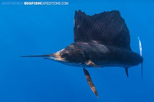 Sailfish diving in Mexico.