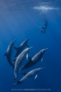 Snorkeling with Atlantic spotted dolphins