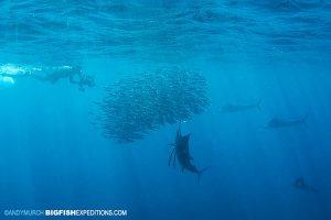 Sailfish with a bait ball
