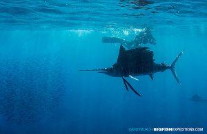 Snorkeling with sailfish