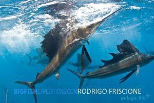 Sailfish Diving