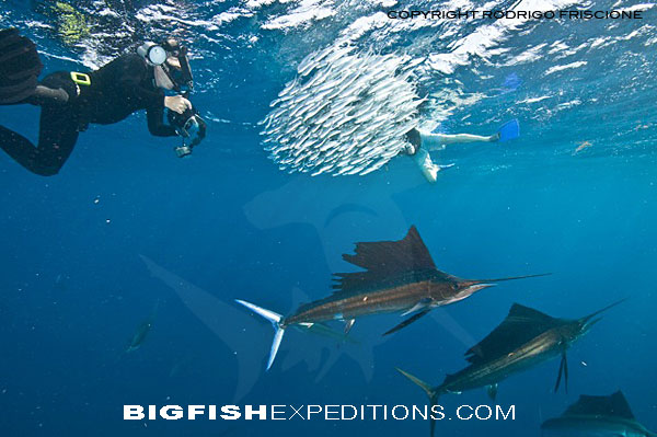 Sailfish Baitball Diving