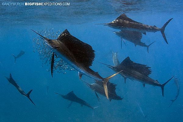 A large group of hunting sailfish