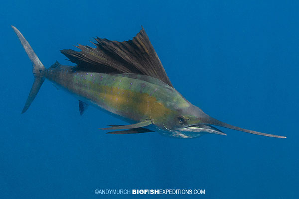 A sailfish in Isla Mujeres from this year's snorkeling adventure