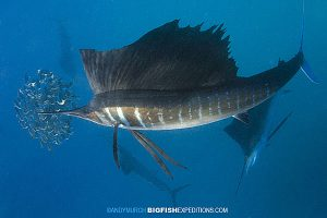 Sailfish baitball diving in Mexico