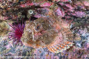 Red irish lord sculpin diving in Alaska