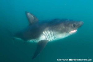 Close up of a salmon shark while snorkeling