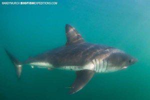 Salmon Shark in Alaska