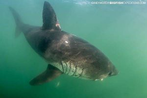 Salmon Shark Diving Expedition