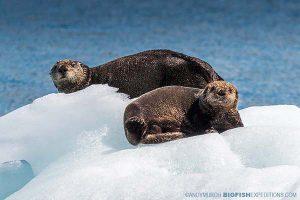 Sea otters on an iceburg in Alaska