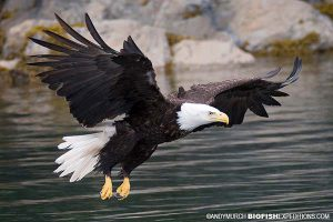 Bald eagle swooping to grab a fish on our salmon shark trip