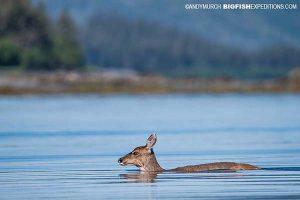 Sitka black-tail deer swimming across a bay in Alaska