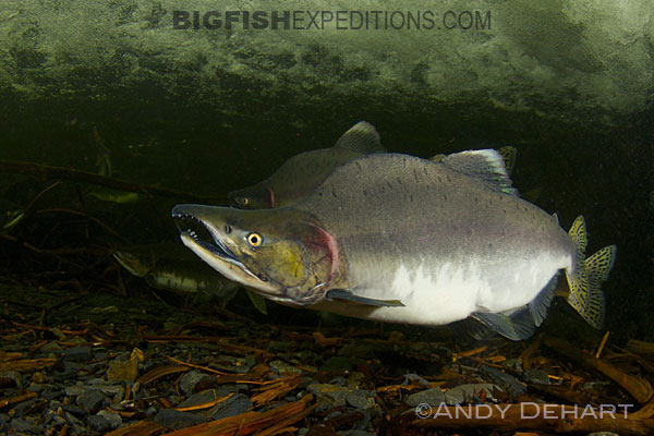Salmon snorkeling in Prince William Sound