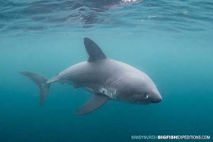 Swimming with a salmon shark
