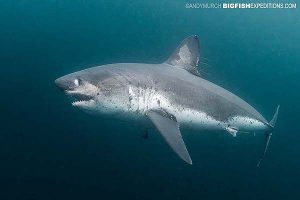 A salmon shark eying the camera