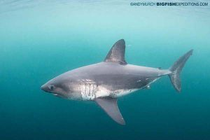 Diving with salmon sharks