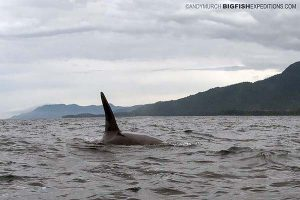Orca fin protruding from the water